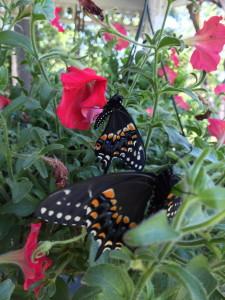 RaisingButterflies
